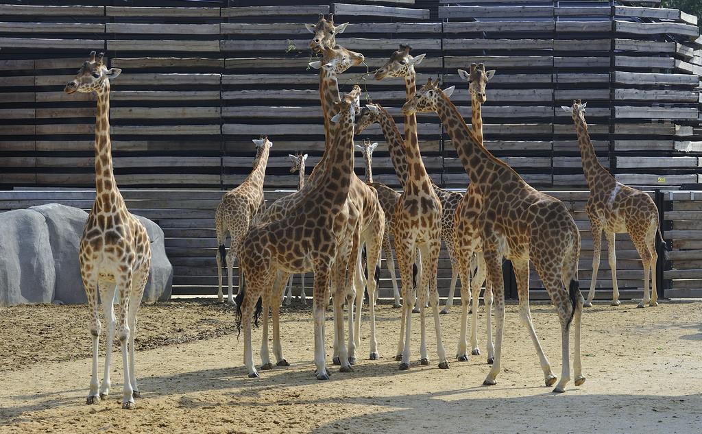 Girafes, zoo de Vincennes