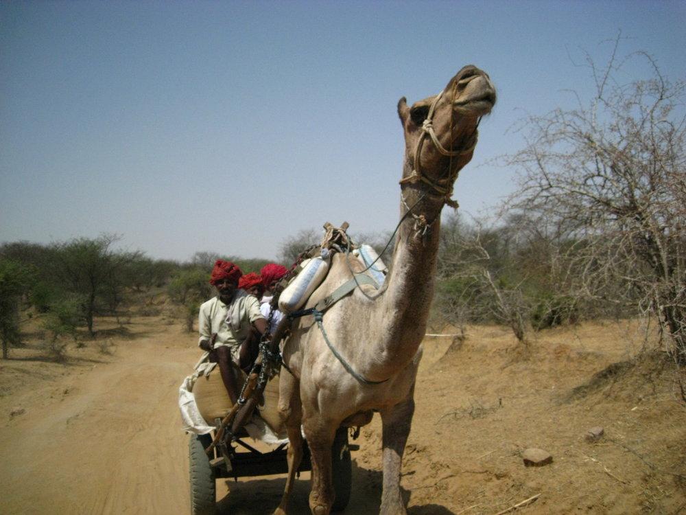 Inde, attelage chameau